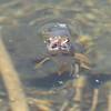 Cutthroat Trout (Oncorhynchus clarkii)