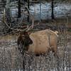 Elk (Cervus canadensis)
