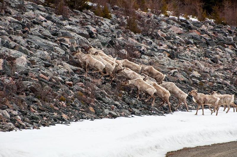 Caribou-6