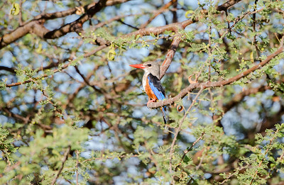 Gray-headed Kingfisher