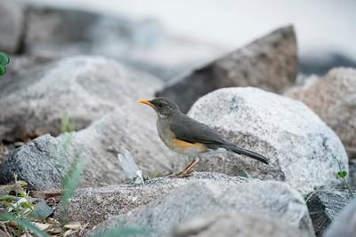 African Robin