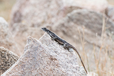 Red-headed Rock Agama (female)