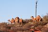 Camels near Uluru