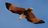 A visit to the beach at Djurranalpi Outstation on Elcho Island in July 2008. A Brahminy Kite (Haliastur ((Milvus))Indus