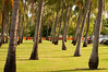 Coconut trees in Darwin, April 2009