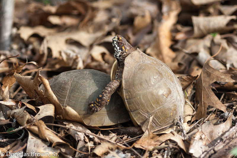 Mating Box Turtles