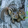 Chipmunk Pair