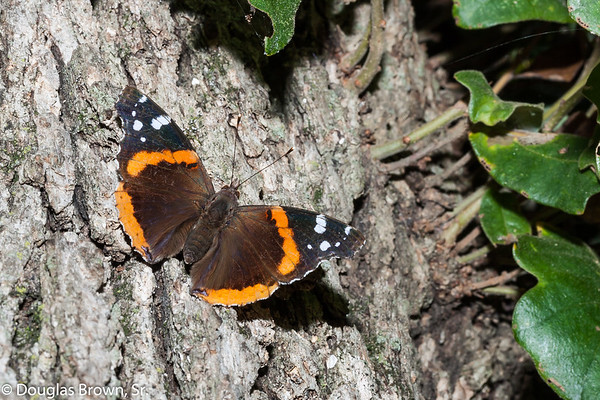 Red Admiral Display