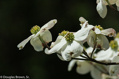 Flowering Dogwood 2
