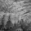 Fern in B&W