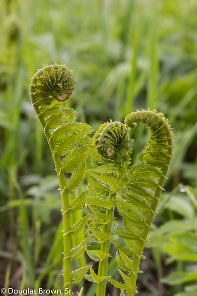 Dance of the Fiddleheads