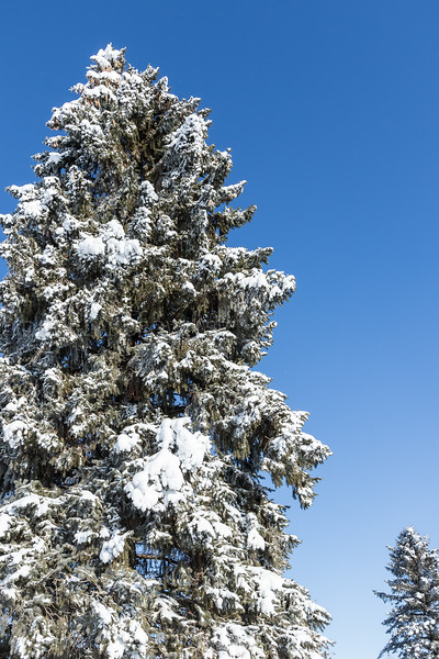 Snow Ladened Spruce