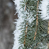 Ice & Conifer Needles
