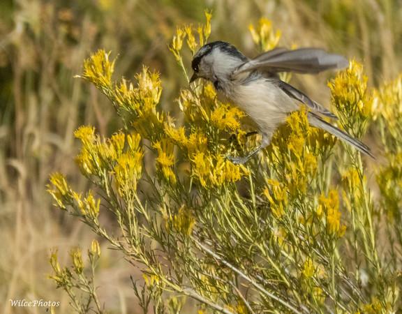 Mountain Chickadee In Rabbit Brush