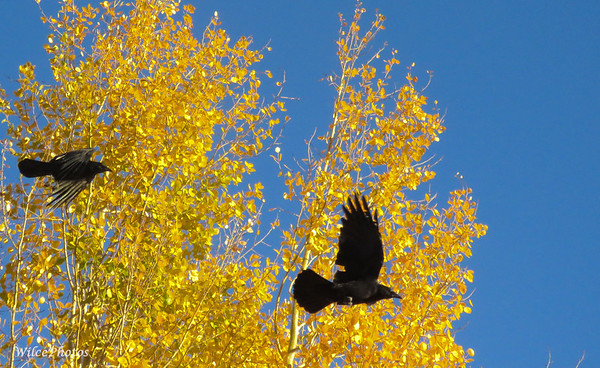 Crows in Autumn