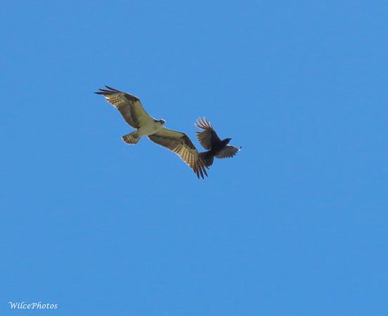 Raven Harassing Osprey