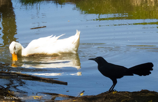 Duck and Grackle