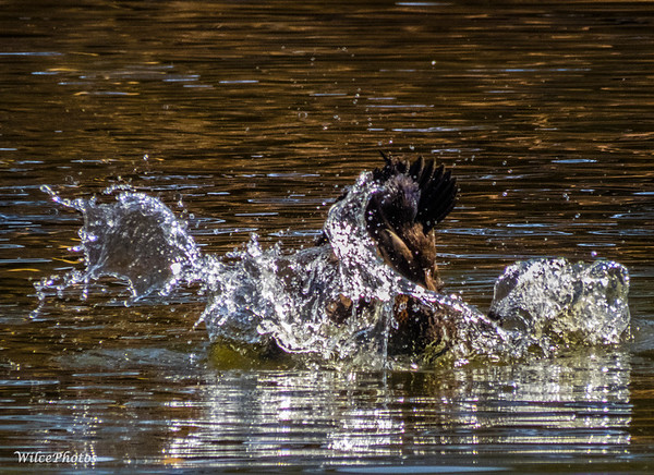 Hybrid-domestic duck