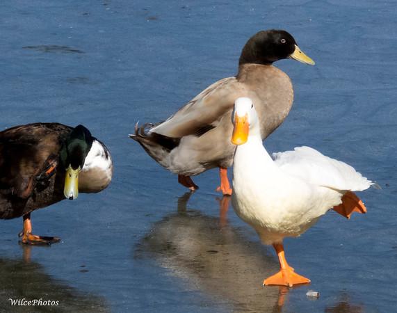 Domestic-hybrid ducks