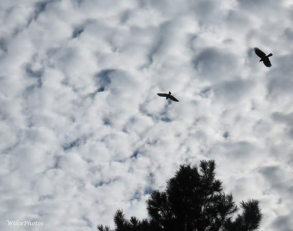 Corvids Overhead