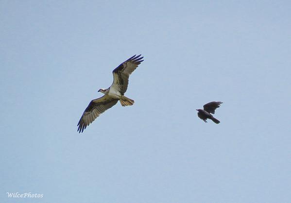 Corvid Harassing Osprey