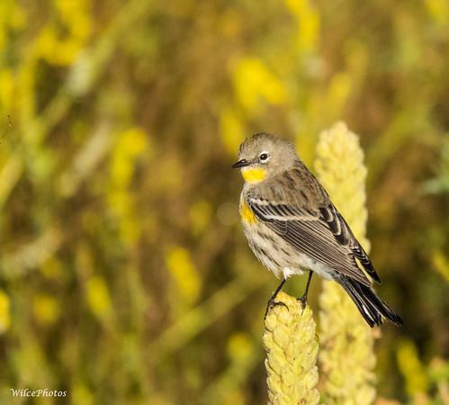 Yellow-Rumped Warbler