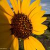 Sunflower in Flagstaff