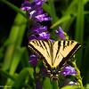 Female tiger swallowtail