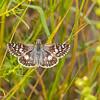 CommonCheckeredSkipper; Butterflies; RioDeFlag; Wetlands InsectPhotography; August2015Photos; 1August; 0030 PSD