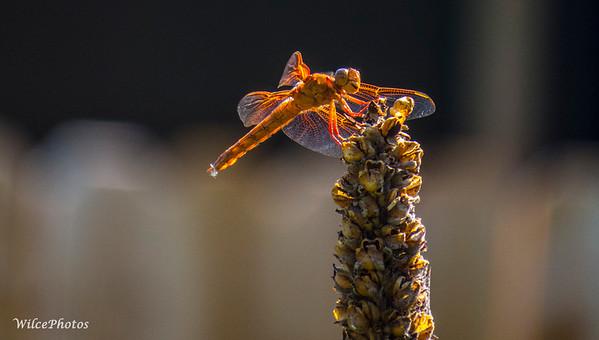 Dragonfly: Flame Darner?