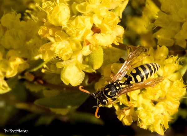 European Paper Wasp?