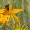 Brown butterfly on composite flower