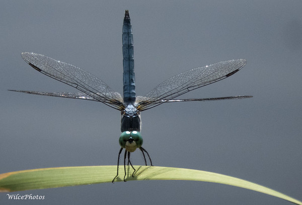 Dragonfly Perched Near Pond