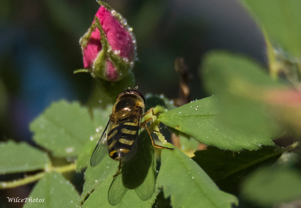 Sweat Bee (?) on dewy leaf