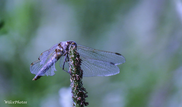 Dragonfly On Mullein