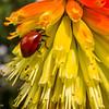 Beetle on Tritoma