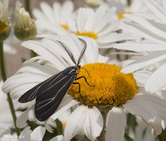 Veined Ctenucha Moth