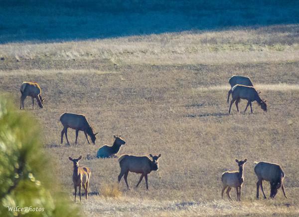 A-Mammals; ElkHerd; LakeMary; 4497; C2PSD2