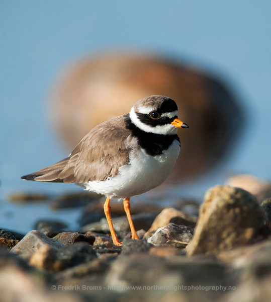 Ringed Plover - Portrait, Norway