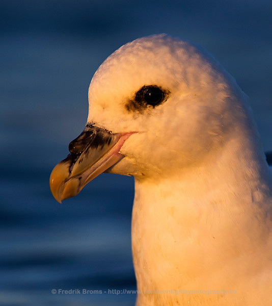 Close-up of the tubes on the nose of a Fulmar, Norway