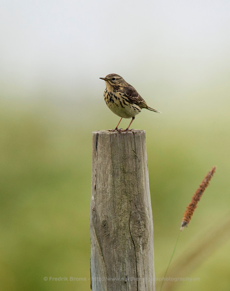 Meadow Pipit, Northern Norway