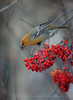 Pine Grosbeak and Rowan Berries, Norway