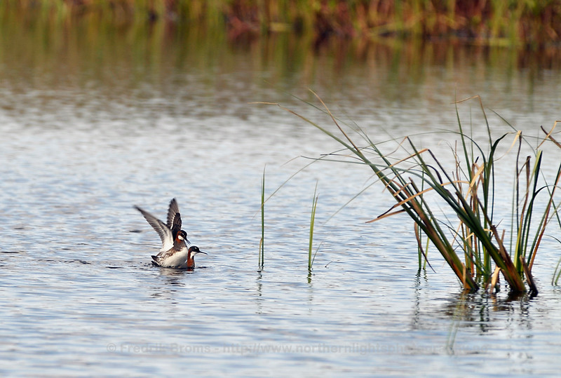 Red-necked phalaropes, Mating, Norway