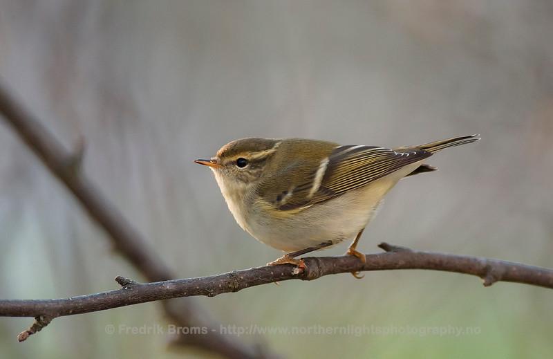 Yellow-browed Warbler - Gulbrynsanger - Phylloscopus inornatus
