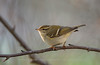 Yellow-browed Warbler - Close-up, Norway