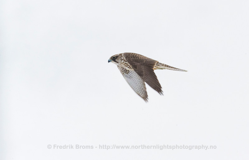 Gyrfalcon, Norway