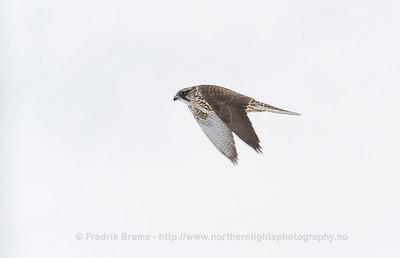 Gyrfalcon - Jaktfalk - Falco rusticolus