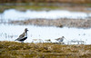 Golden Plover and Pectoral Sandpiper, Norway