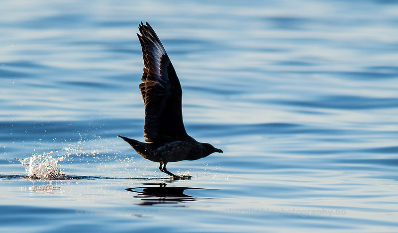 Great Skua at Sea, Northern Norway
