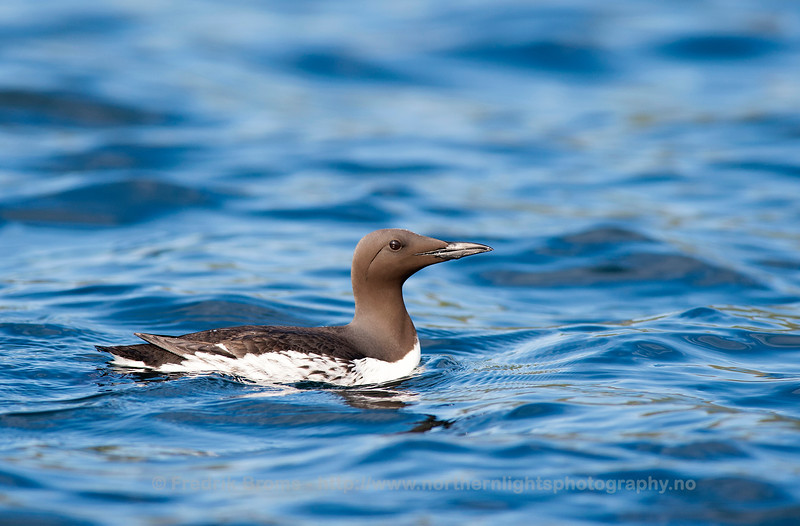 Common Guillemot - Lomvi - Uria aalge